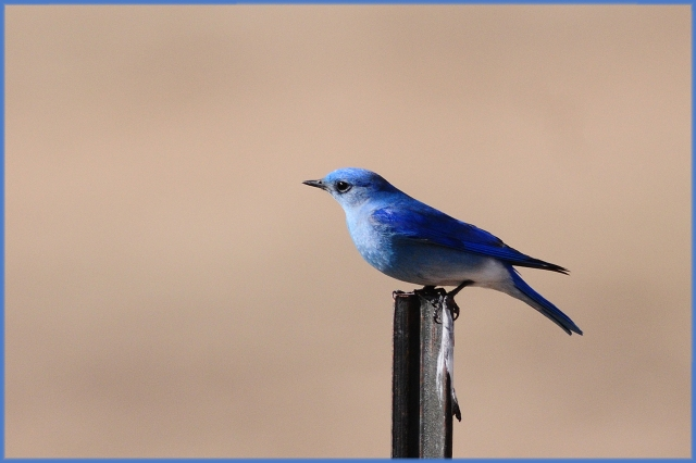 MountainBluebirds