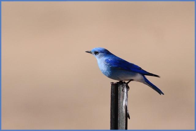 MountainBluebirds