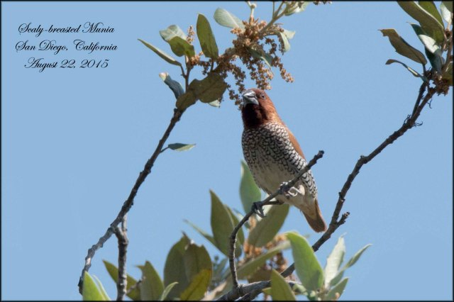 Scaly-breastedMunia
