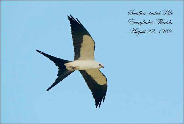 SwallowtailKite