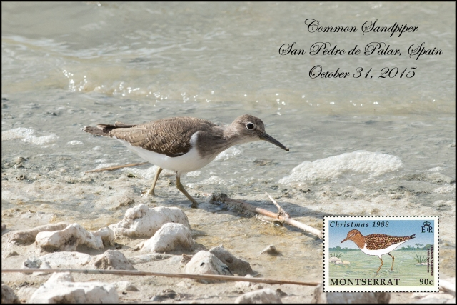 CommonSandpiper
