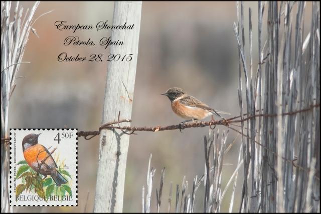 CommonStonechat