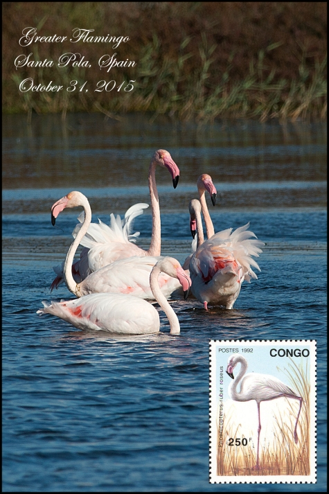 EurasianGreaterFlamingo