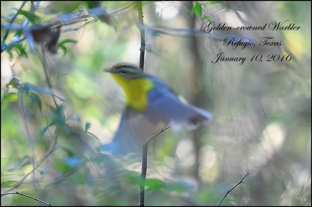 GoldencrownedWarbler