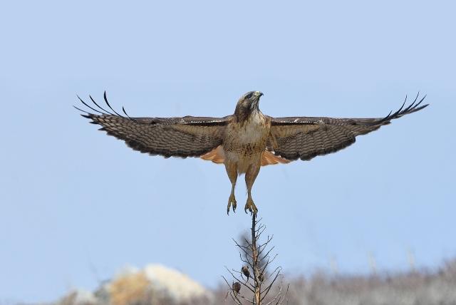 RedtailedHawk (1)