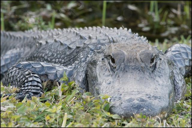 Alligator2016B
