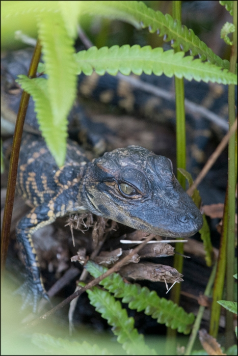 AlligatorYoung2016