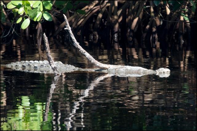 AmericanCrocodile2016