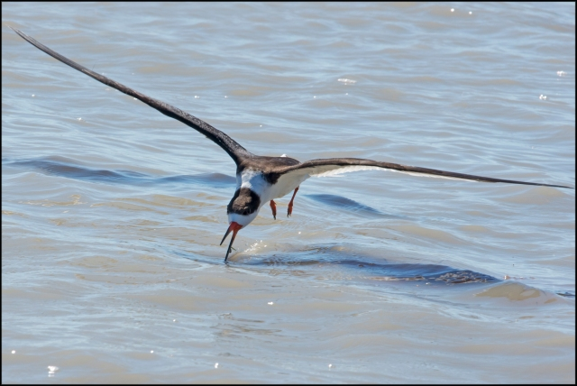 BlackSkimmer2016