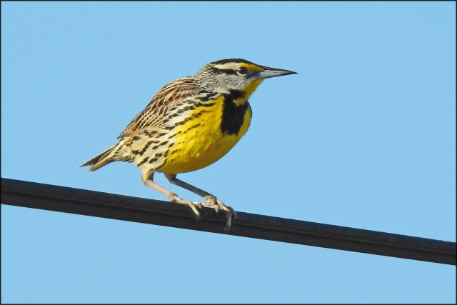 EasternMeadowlark2016