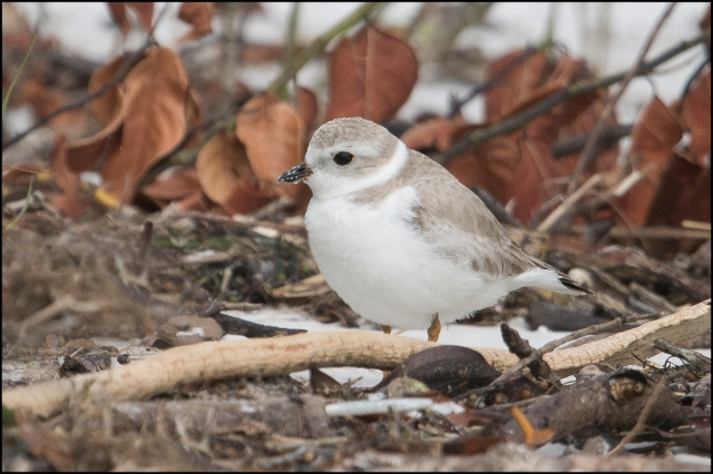 PipingPlover2016C