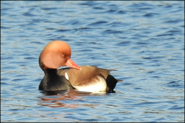 RedCrestedPochard2016