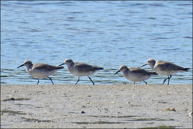 RedKnot2016