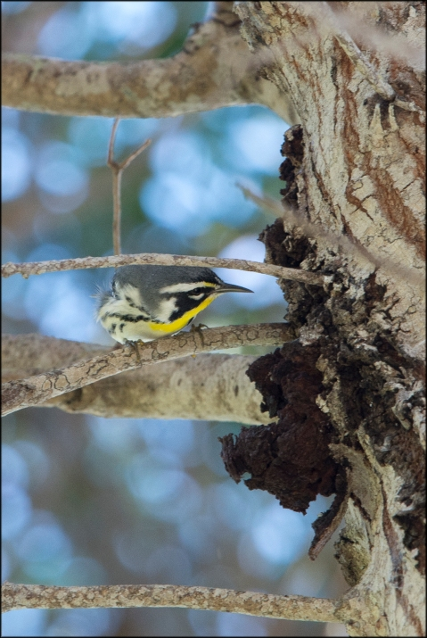 YellowthroatedWarbler2016