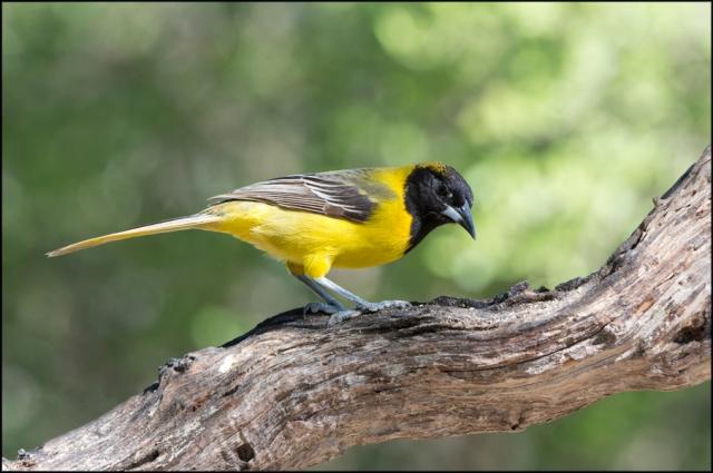AudubonOrioleMarch2015FB