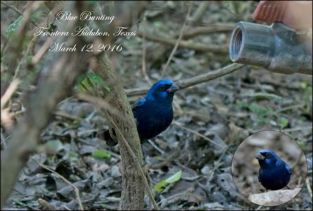 BlueBunting