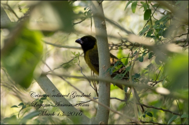 CrimsonCollaredGrosbeak