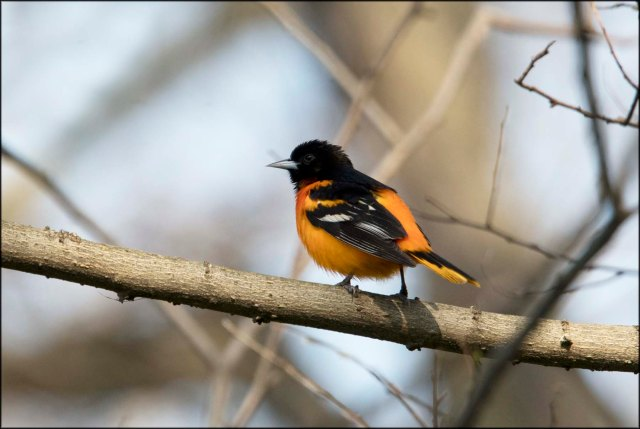 BaltimoreOriole2016