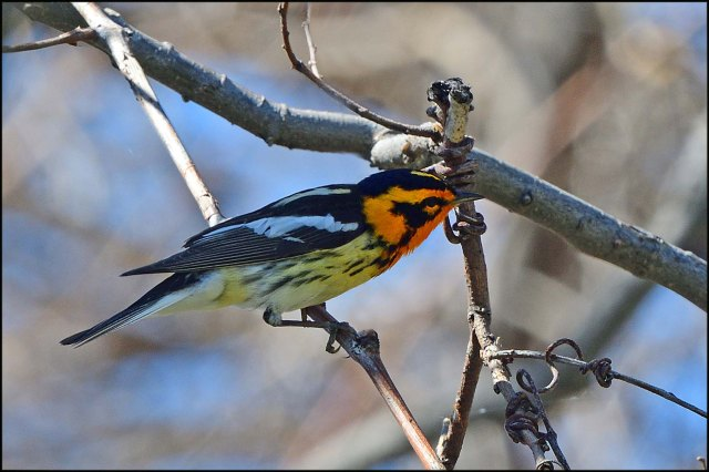 BlackburnianWarbler2016
