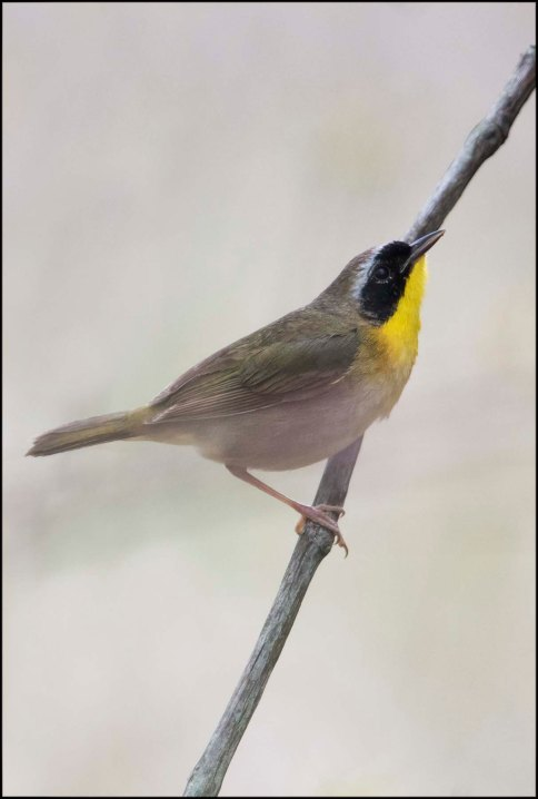 CommonYellowthroat2016