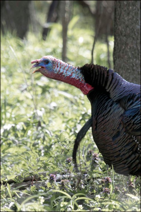 WildTurkey2016B