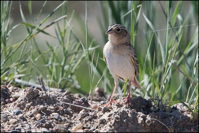 GrasshopperSparrow2016