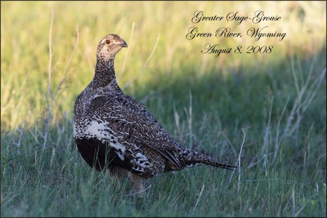 GreaterSage-Grouse