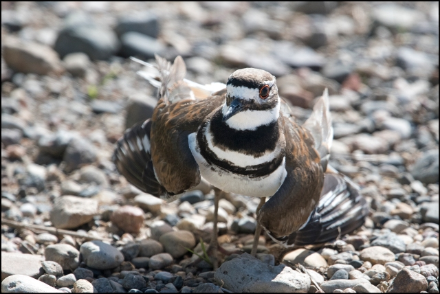 Killdeer2016