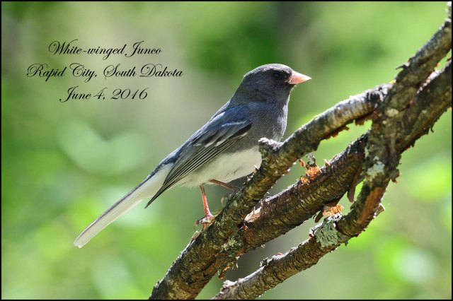 WhitewingedJunco