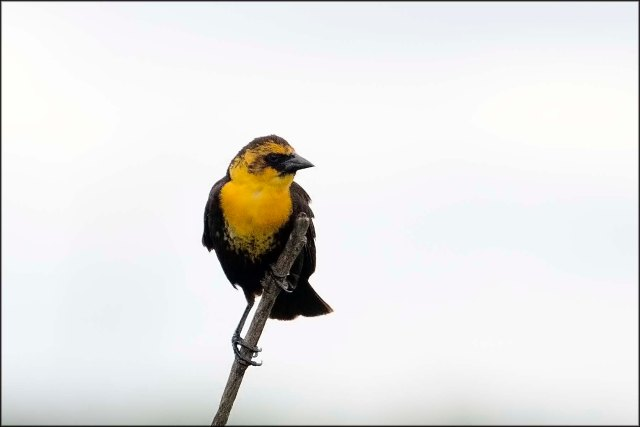 YellowheadedBlackbird2016