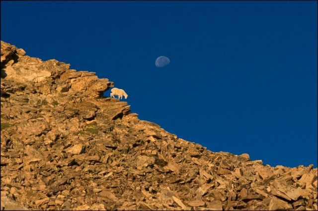 GoatintheMoonlight