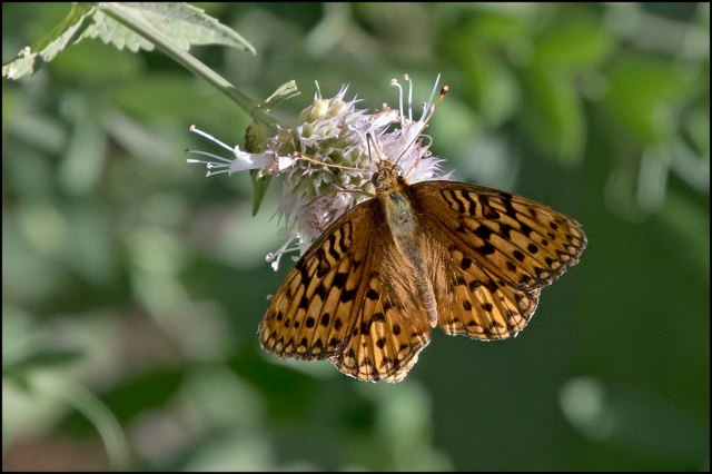 Male Great Spangled Fritillary2016