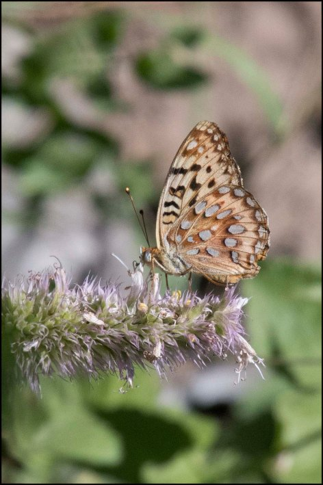 Male Great Spangled Fritillary2016B