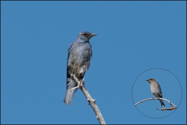 MountainBluebird2016