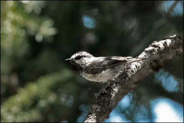 MountainChickadee2016