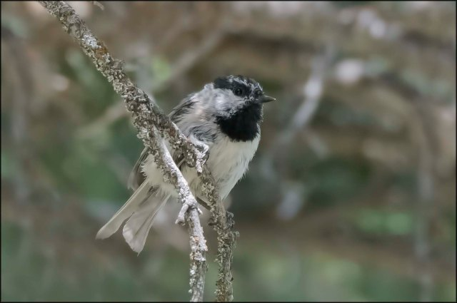 MountainChickadee2016C