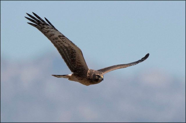 NorthernHarrier2016D