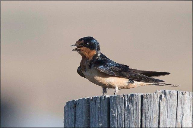 Swallow2016B