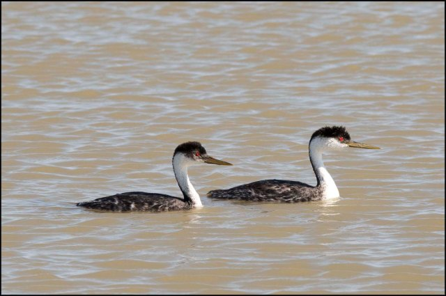 WesternGrebe2016C
