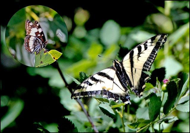 WesternTigerSwallowtail2016