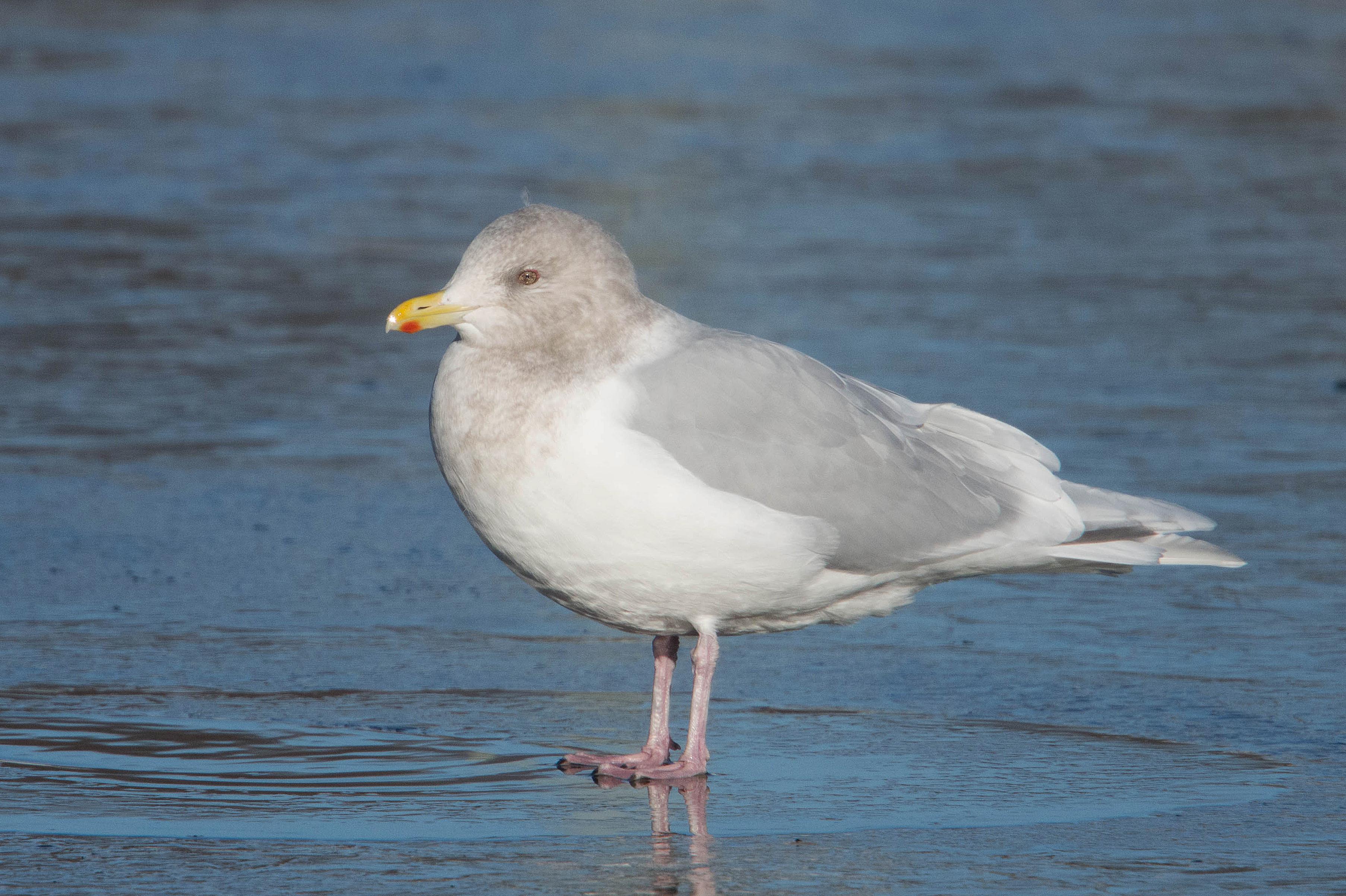 Have Adult sea gull mine