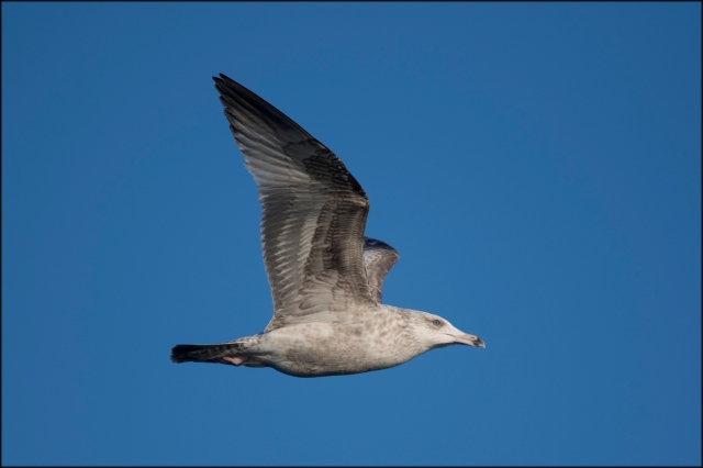 HerringGull2ndWinter2019