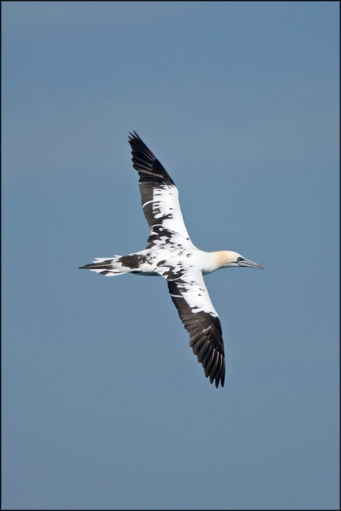 NorthernGannet3rdYear2019